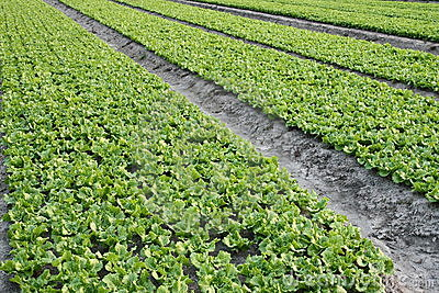 Lettuce farm background