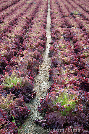 Lettuce in the fields