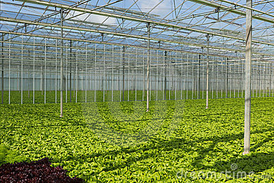 Lettuce greenhouse