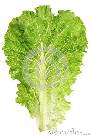 Free Lettuce Leaf Stock Images - 3106014