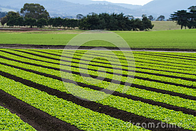 Lettuce plants in rows in farm field