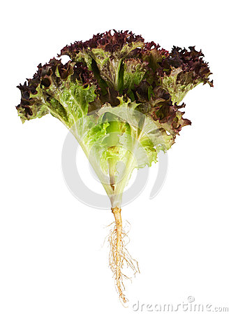 Lettuce with root