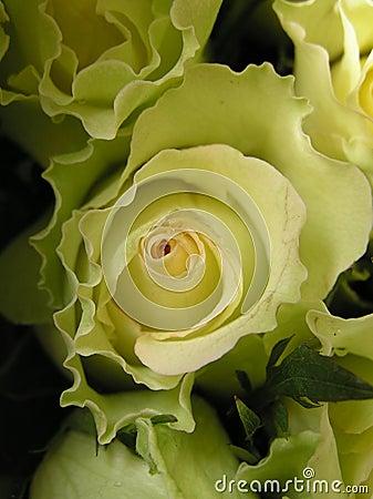Lettuce rose