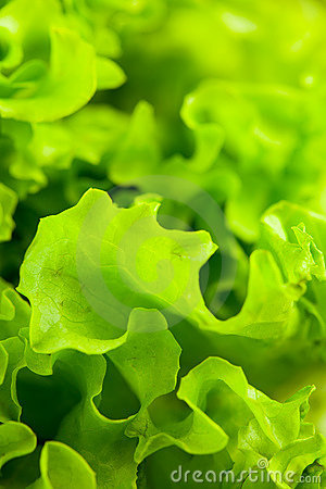 Free Lettuce Salad Stock Photography - 18379212