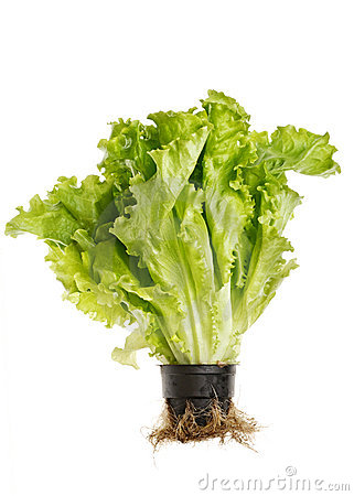 Lettuce salad in pot