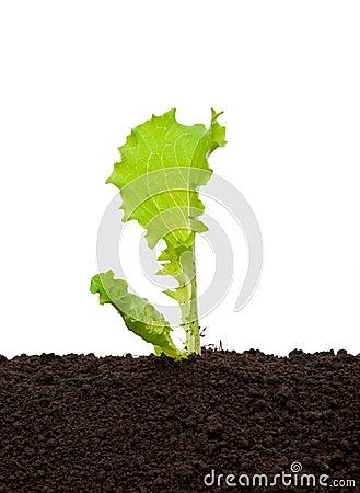 Lettuce seedling in soil