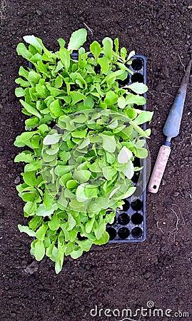 Lettuce Seedlings and dibber