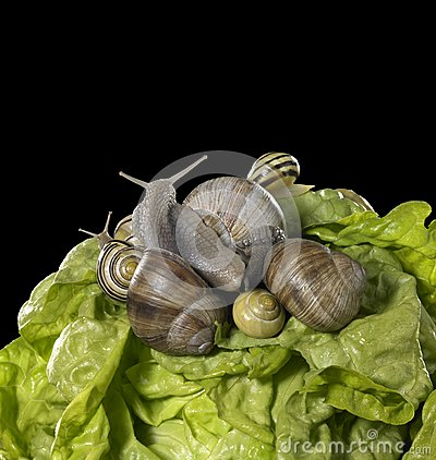 Lettuce and snails closeup