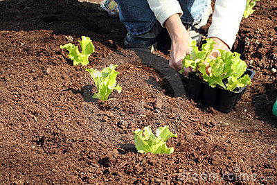Lettuce to plant in fresh soil