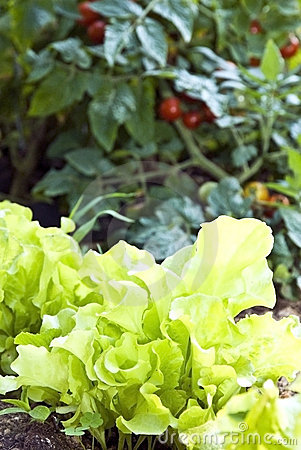 Lettuce and Tomatoes/Garden