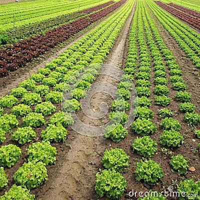 Lettuces in the fields