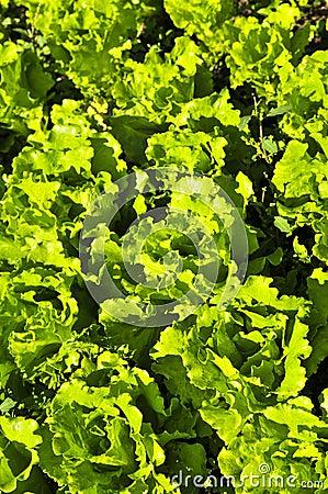 Lettuces growing in a garden