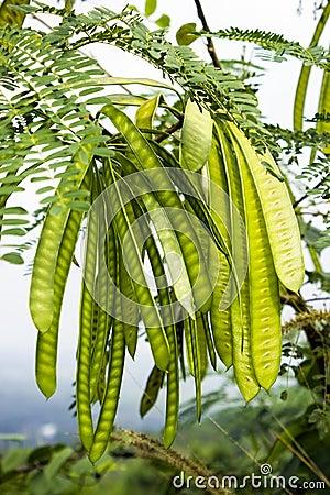 Free Leucaena Leucocephala Stock Photos - 39131613