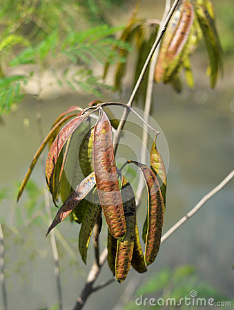 Free Leucaena Leucocephala Stock Image - 62819921