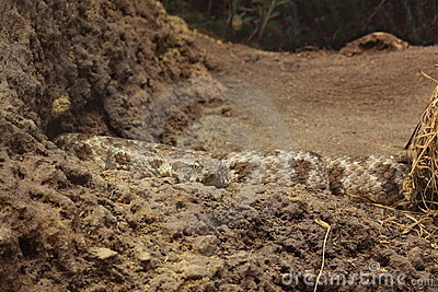 Levant viper