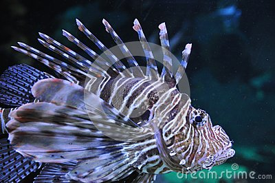 Lew ryba