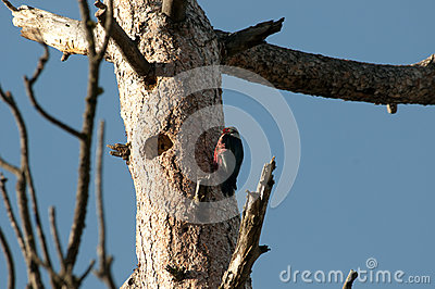 Lewis s Woodpecker At The Nest