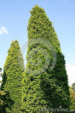 Leylandii (Leyland Cypress)