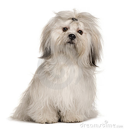 Lhasa Apso 2 Years Old Front View Of A Lhasa Apso