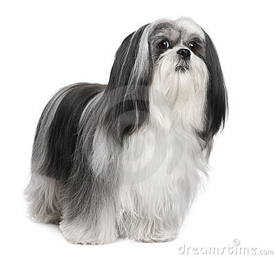 Free Lhasa Apso (4 Years Old) Royalty Free Stock Photo - 9774195