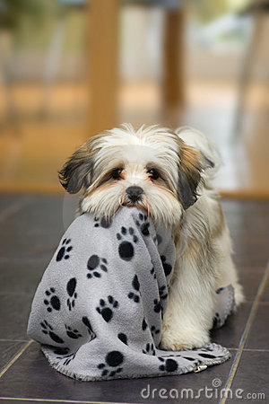 Free Lhasa Apso Puppy Stock Photography - 6893542