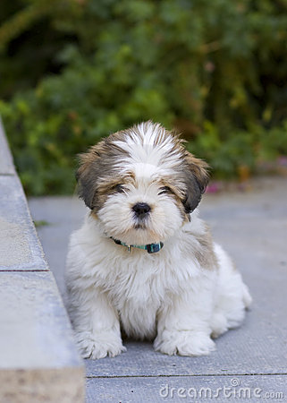 Lhasa Apso Puppies on Royalty Free Stock Image  Lhasa Apso Puppy  Image  8461466