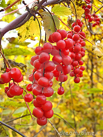 Free Liana Schisandra Chinese With Clusters Of Berries Royalty Free Stock Image - 16615036
