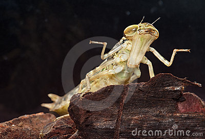 Libel larve