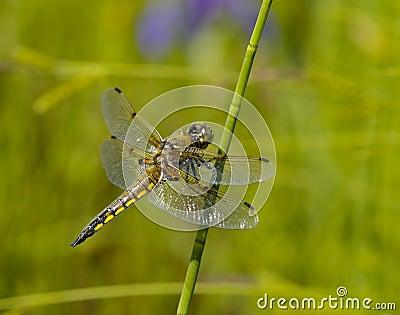 Libelle auf einem grünen Stiel