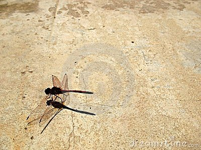 Libelle Grunge 1