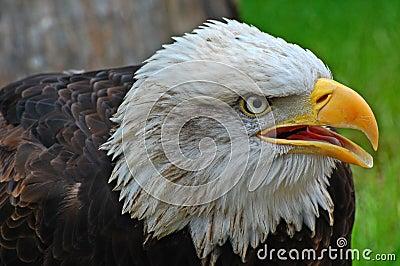 Liberty bald eagle