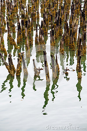 Free Lichen Covered Pilings In Harbor Stock Photography - 39057282