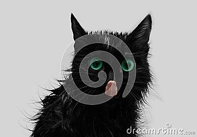 Licking black cat