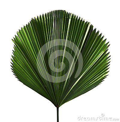 Free Licuala Grandis Or Ruffled Fan Palm Leaf, Large Tropical Foliage, Pleated Leaf Isolated On White Background Stock Images - 99184834