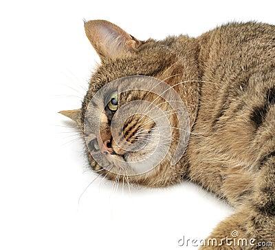 Lie cat