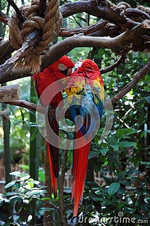 Liebe mit zwei Papageien