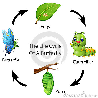The life cycle of a butterfly Vector Illustration