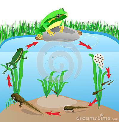 Free Life Cycle European Tree Frog Royalty Free Stock Images - 26970319
