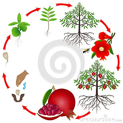 Free Life Cycle Of A Pomegranate Tree On A White Background. Royalty Free Stock Photo - 120025805