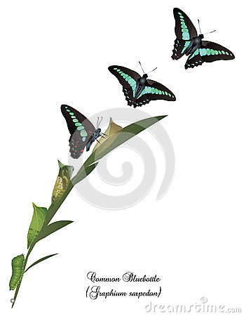 Free Life Cycle Of Common Bluebottle Butterfly Stock Photos - 70280273