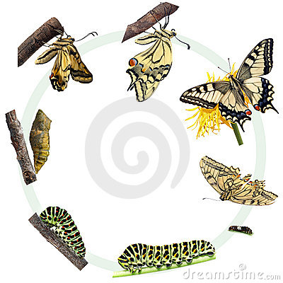 Free Life Cycle Of The Swallowtail Butterfly Royalty Free Stock Photo - 20321165