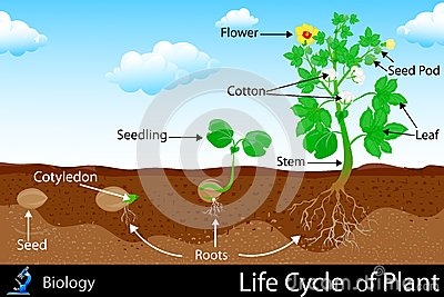 Life Cycle of Plant Vector Illustration