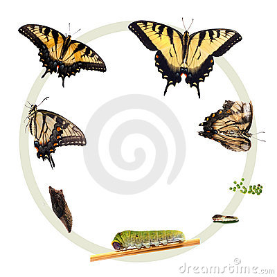 Life cycle of the Tiger Swallowtail