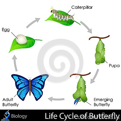Free Lifecycle Of Butterfly Stock Photos - 31606493