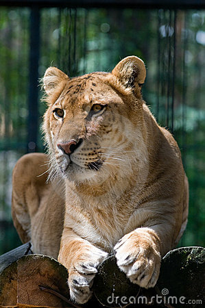 A liger looking aside