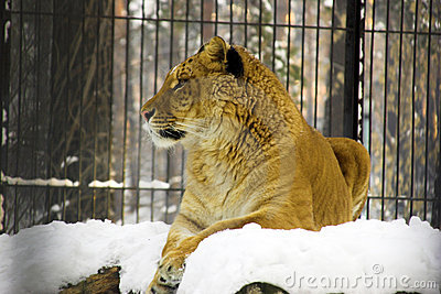Liger Resting on the snow
