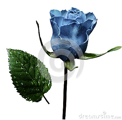 Free Light Blue Rose  On White Isolated Background With Clipping Path.  No Shadows. Closeup.  A Flower On A Stalk With Green Leaves Aft Stock Photo - 97451630
