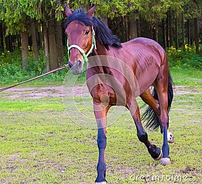 Light brown horse running - photo#6