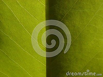 Light & Dark Magnolia Leaf