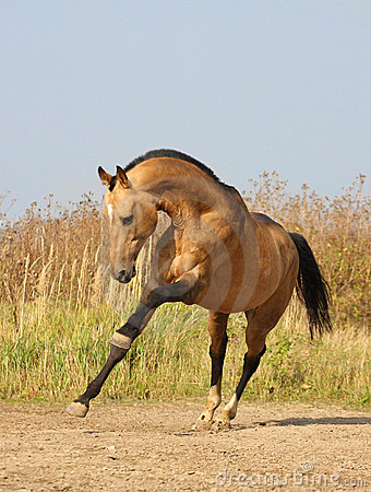 Light-dun akhalteke horse